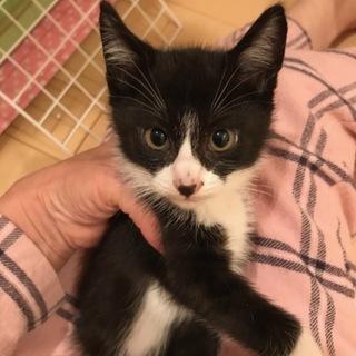 白黒仔猫 甘えん坊で男勝りな女の子 2ヶ月 アイ