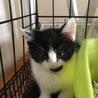 白黒仔猫 守ってあげたい女の子 4ヶ月 ソノコ サムネイル3