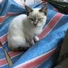里親決定!★美しい白猫ブルーアイ里親大募集!