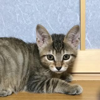 名古屋からキジトラ仔猫