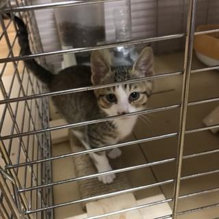 急募 生後2が月の子猫