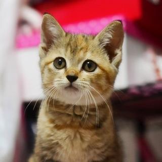 (一時停止)丸顔丸目の美猫【うずめ】