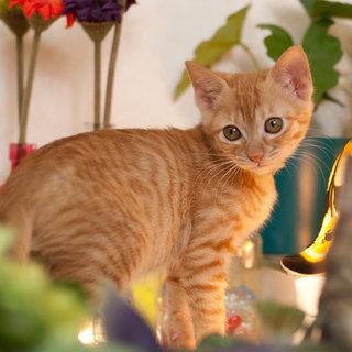 オレンジの子猫