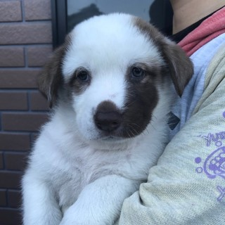 中型雑種の仔犬 チェス君 10月3日生まれ