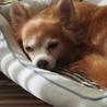 繁殖リタイア犬チワワ♀エル サムネイル3