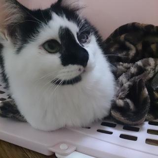 社交的な白黒の和美猫ちゃん
