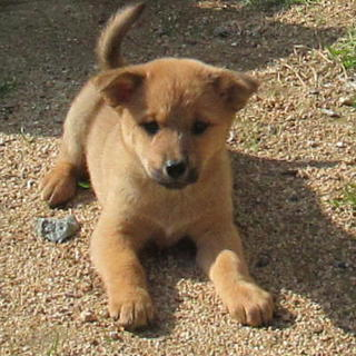 明るい性格の甘えん坊さん・メス子犬です。