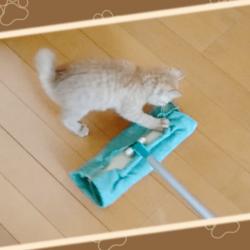 お掃除ワイパーで遊ぶうちの茶トラ猫です