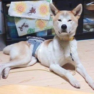 秋田犬のような顔立ちの男の子、はにわです