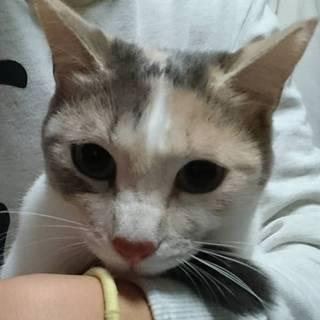 小柄な美猫!綺麗なパステル三毛『あずき』1才