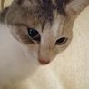 小柄な美猫!綺麗なパステル三毛『あずき』1才 サムネイル3