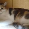 小柄な美猫!綺麗なパステル三毛『あずき』1才 サムネイル4