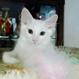 4月生まれの白い中毛バロンと白三毛ななちゃん