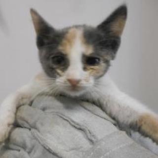 里親様を待っています。子猫♀1〜2ヶ月 白茶黒