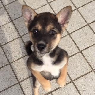 保健所から引き出し2ヶ月の小柄な可愛い子犬
