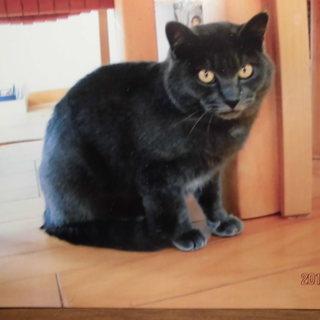シャルトリュー似のブルーグレー猫 8~9カ月です