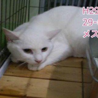 真っ白で綺麗な猫ちゃん