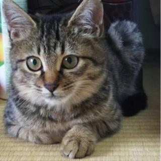 キジの美猫のひよりちゃん 3か月