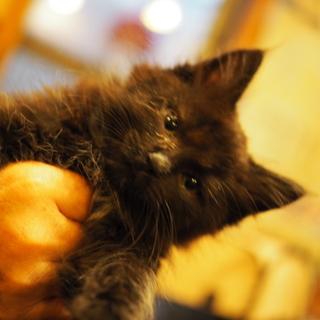 黒洋猫 生後1か月半  750g