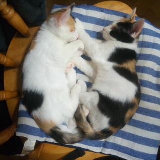 三毛猫姉妹里親募集