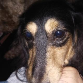 繁殖リタイア犬カニンヘンダックスフント