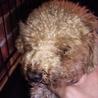 繁殖リタイア犬トイプードル