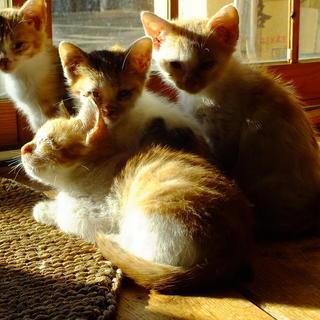 生後2か月半の人懐こい茶白子猫2匹