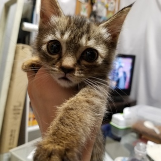 代理募集。キジトラ柄の子猫が家庭で生まれました。