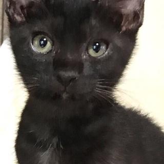 4ヶ月月の輪猫★スリゴロ甘えん坊黒猫ぷぅ