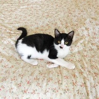 黒白 子猫 女の子  先住猫OK