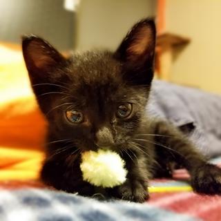 幸せを呼ぶ☆黒猫あずき♂☆3ヵ月