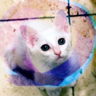 2ヶ月♡白猫甘えん坊抱っこ猫やまとオス