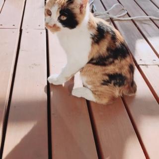 三毛猫2〜3ヶ月くらい。