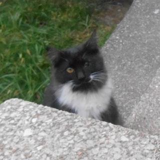 子猫の長毛種混 ふわっふわの可愛い子です