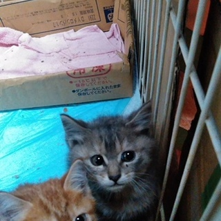 キジトラのグレーの子猫を保護しました