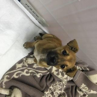 愛媛県動物愛護センターから引き出した仔犬/チョコ
