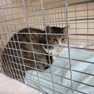甘えん坊の保護猫キジ白♂1歳位