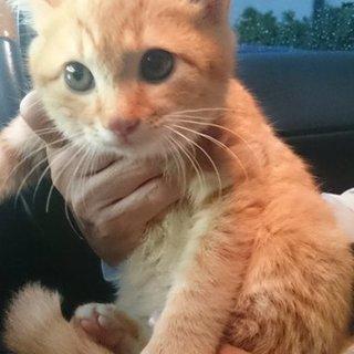 可愛い茶トラオス子猫
