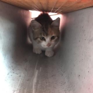 3ヶ月くらいの 子猫 雌猫 三毛猫