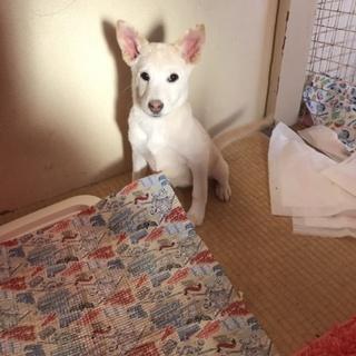紀州犬と柴のMIX