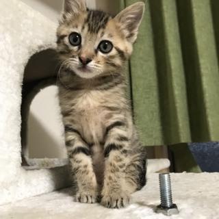 1.5ヶ月くらいのキジネコちゃん