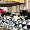 白黒仔猫 甘えん坊で活発な男の子 4ヶ月 ミツヒコ サムネイル7