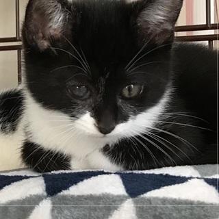 白黒仔猫 おっとり癒し系女の子 2ヶ月 アユミ