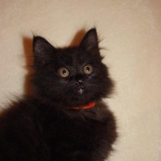 もふもふ半長毛黒猫 もろぞふちゃん