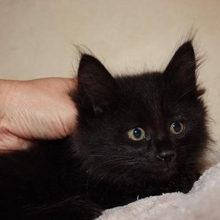 かわいいもふもふ半長毛黒猫 ごでぃば君