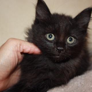かわいいもふもふ半長毛黒猫でめるちゃん