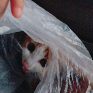 子猫。車のエンジンルームから救出した子!