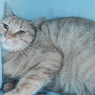 里親様を待っています。成猫 性別不明 茶