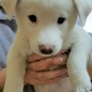 白のオス犬風太君☆1.5ヶ月ワクチン済