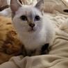 生後2ヶ月のシャム猫です!カリカリ食べれます